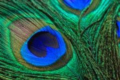 Fondo de las plumas del pavo real Imagen de archivo libre de regalías
