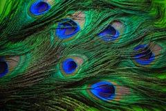 Fondo de las plumas del pavo real Fotografía de archivo