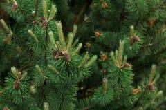 Fondo de las ramas de árbol de navidad Imágenes de archivo libres de regalías