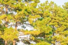 Fondo de las ramas de árbol de pino Imágenes de archivo libres de regalías