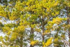 Fondo de las ramas de árbol de pino Fotografía de archivo libre de regalías