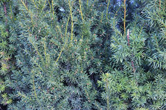Fondo de las ramas de árbol de navidad Textura conífera de la planta Imágenes de archivo libres de regalías