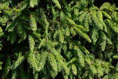 Fondo de las ramas de ?rbol de navidad foto de archivo libre de regalías