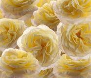 Fondo de las rosas Imagenes de archivo