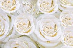 Fondo de las rosas apacibles de las flores blancas T foto de archivo