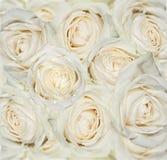 Fondo de las rosas blancas Fotografía de archivo