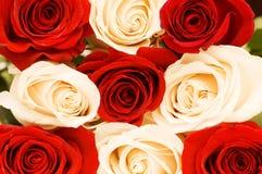 Fondo de las rosas rojas y blancas Imagen de archivo