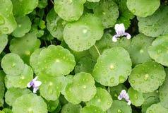 Fondo de las verduras y descensos verdes frescos del agua en las hojas después de la lluvia fotografía de archivo libre de regalías