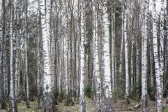 Fondo de los árboles blancos, bosque de los abedules Fotografía de archivo libre de regalías