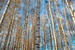 Fondo de los árboles de abedul. Imagen de archivo