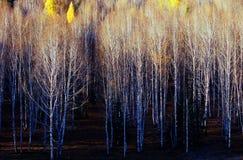 Fondo de los árboles de abedul blanco. Fotos de archivo libres de regalías