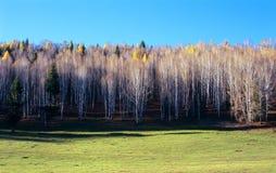 Fondo de los árboles de abedul blanco. Foto de archivo libre de regalías