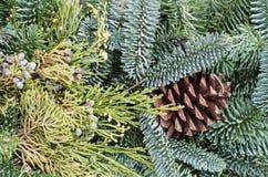 Fondo de los árboles de hoja perenne para la decoración Fotografía de archivo libre de regalías