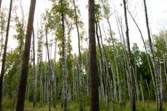 Fondo de los árboles hermosos del abedul y de pino Fotos de archivo