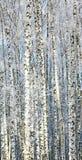 Fondo de los abedules Nevado Fotos de archivo libres de regalías