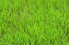 Fondo de los almácigos del arroz imagen de archivo libre de regalías