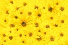 Fondo de los brotes amarillos del jardín de las flores Arktotis wallpaper imagenes de archivo