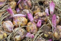 Fondo de los bulbos de flor con el brote del lirio púrpura Imagenes de archivo
