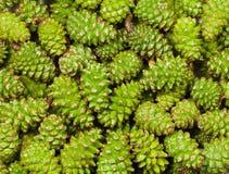 Fondo de los conos del pino Imagen de archivo libre de regalías