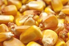 Fondo de los gérmenes del maíz Imagenes de archivo