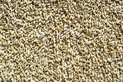 Fondo de los granos del trigo Fotografía de archivo libre de regalías