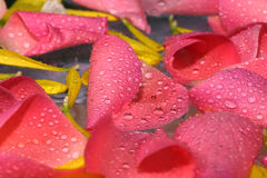 Fondo de los pétalos de Rose Foto de archivo libre de regalías