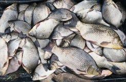 Fondo de los pescados frescos Imágenes de archivo libres de regalías