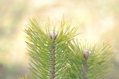 Fondo de los pinos de la primavera fotos de archivo