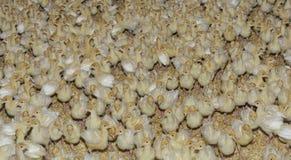 Fondo de los polluelos de Turquía Imagenes de archivo