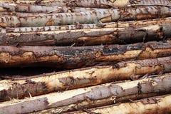 Fondo de los registros de los árboles de pino del bosque Foto de archivo libre de regalías