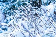 Fondo de los troncos de la hierba o de la planta altos nevados del bosque en invierno, representando el tiempo del invierno, la b fotografía de archivo libre de regalías