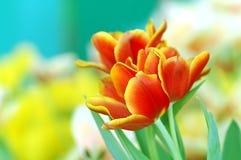 Fondo de los tulipanes Fotos de archivo libres de regalías
