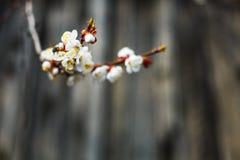 Fondo de madera con un lugar libre y flor en un árbol y una abeja Imagen de archivo