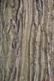 Fondo de madera de la corteza del roble de la textura Fotos de archivo