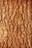 Fondo de madera del marrón del bosque del otoño Tre de madera del bosque de la textura Fotos de archivo libres de regalías