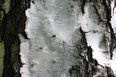Fondo de madera natural con textura de la corteza de abedul Imágenes de archivo libres de regalías