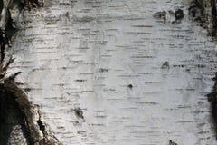 Fondo de madera natural con textura de la corteza de abedul Imagen de archivo