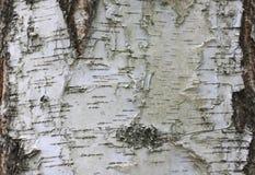 Fondo de madera natural con textura de la corteza de abedul Fotos de archivo libres de regalías