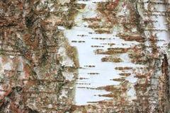 Fondo de madera natural con textura de la corteza de abedul Foto de archivo