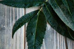 Fondo de madera rústico verde fresco del descenso de rocío de la hoja imagenes de archivo