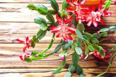 Fondo de madera U de la maceta delicada del zygocactus de Truncata del Schlumbergera del cactus del día de fiesta del cangrejo de Foto de archivo libre de regalías