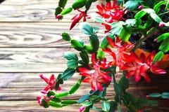 Fondo de madera U de la maceta delicada del zygocactus de Truncata del Schlumbergera del cactus del día de fiesta del cangrejo de Imagen de archivo