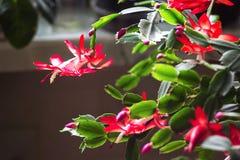 Fondo de madera U de la maceta delicada del zygocactus de Truncata del Schlumbergera del cactus del día de fiesta del cangrejo de Fotografía de archivo