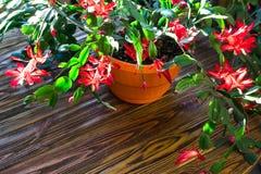 Fondo de madera U de la maceta delicada del zygocactus de Truncata del Schlumbergera del cactus del día de fiesta del cangrejo de Imagenes de archivo