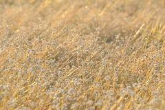Fondo de oro de la hierba Imagen de archivo libre de regalías