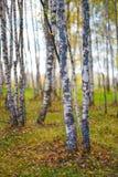 Fondo de oro del bosque del amarillo del árbol de abedul del otoño Imagen de archivo libre de regalías