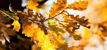 Fondo de oro de las hojas de otoño Rama de roble con las hojas marrones amarillo-naranja coloridas Follaje hermoso, estacional foto de archivo