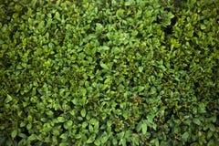 Fondo de pequeñas hojas verdes del arbusto bajo Foto de archivo