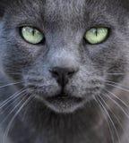 Fondo de plata del gato Imagen de archivo