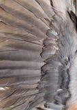 Fondo de plumas de una paloma Imágenes de archivo libres de regalías